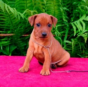 Пинчера карликового щенки(минидоберманы)