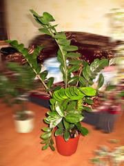 Заумеокулькас (долларовое дерево) 1м.